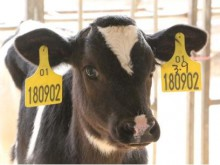 """""""认养一头牛""""融资为堵亏损缺口?"""
